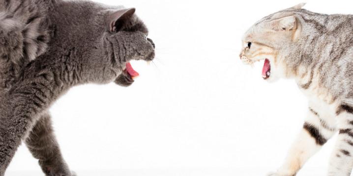 Alasan Kenapa Kucing Berkelahi