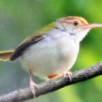Burung Prenjak 1