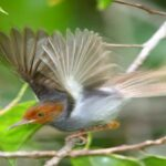 Burung Prenjak
