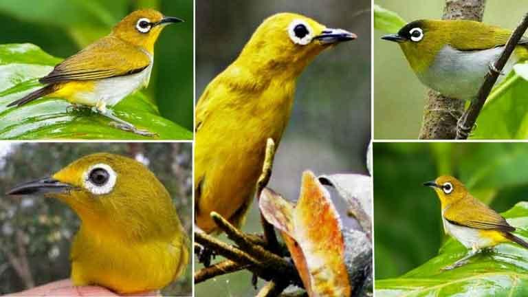 Jenis Jenis Burung Pleci