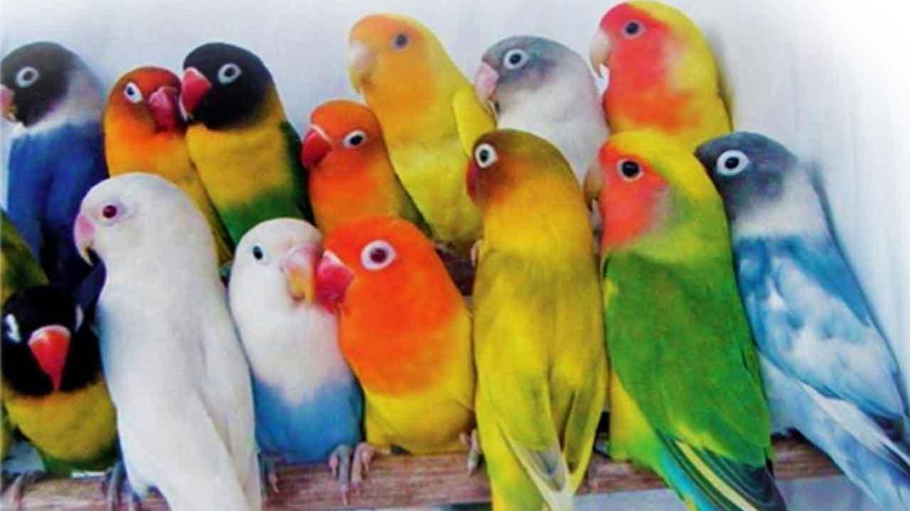 Kumpulan Burung Lovebird